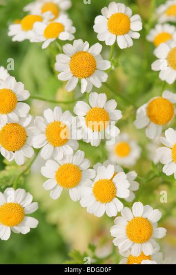 chamomile flowers closeup - Stock-Bilder