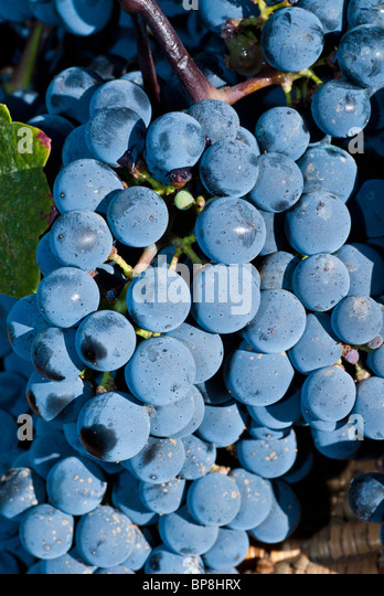 Concord grapes in vineyard Lebanon Middle East - Stock Image