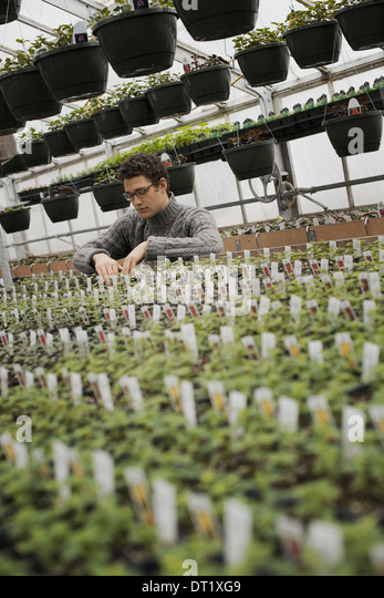 A man checking rows of seedlings and young plants - Stock Image
