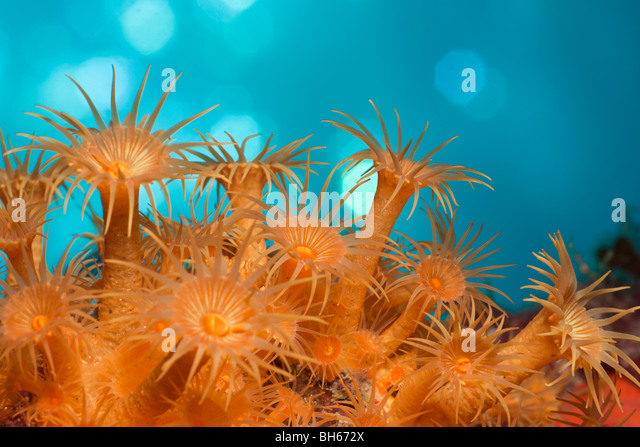 Yellow Cluster Anemones, Parazoanthus axinellae, Tamariu, Costa Brava, Mediterranean Sea, Spain - Stock Image