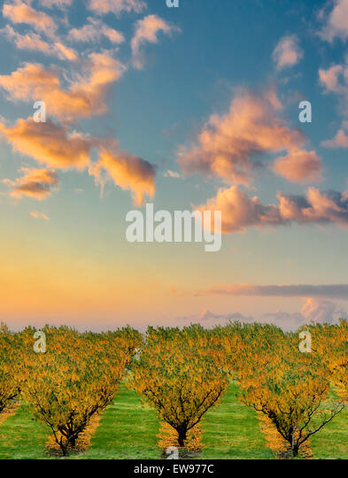 Peach orchard in fall color. Columbia River Gorge National Scenic Area, Washington - Stock Image