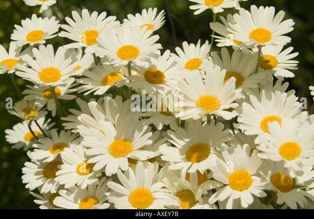 dalmatinische insektenblume kaufen