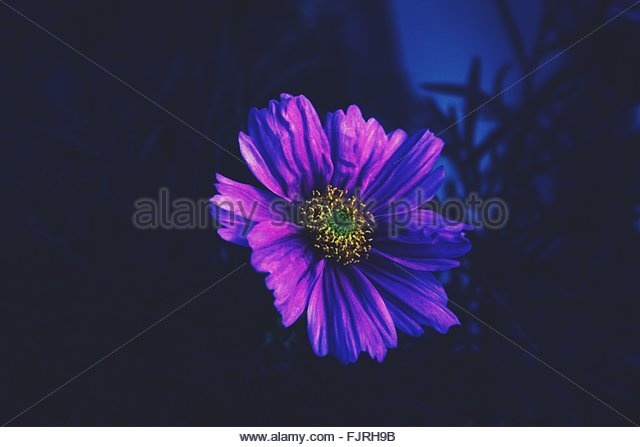 Close-Up Of Purple Flower Blooming At Park During Dusk - Stock Image