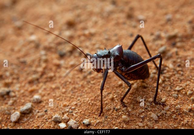 Dune Cricket, Kalahari Desert, Namibia, Africa - Stock Image