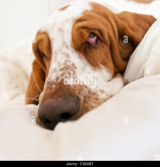 Extreme close-up of a sad-looking basset hound lying in its bed. - Stock Image