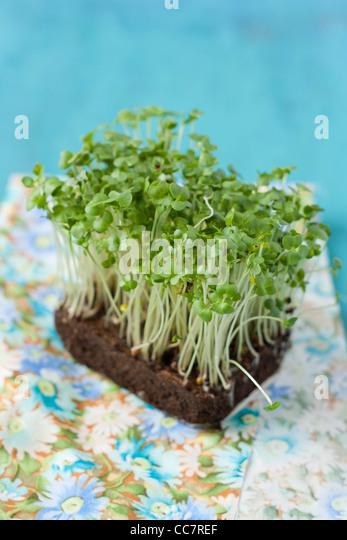 Closeup of fresh and green cress salad - Stock Image