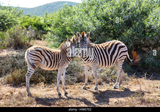 Zebras - Pair of Zebras, Plains Zebra, Equus Quagga - concept of Animal love, Animals in love; South Africa - Stock Image