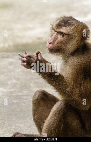 Humble monkey - Stock Image