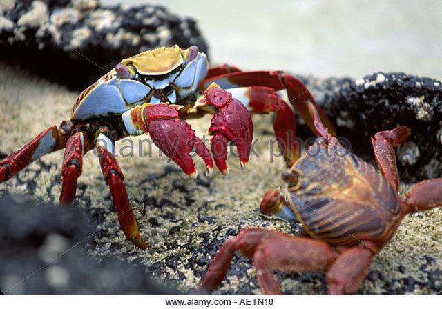 Ecuador Galapagos Islands Floreana Island Flour Beach Sally Lightfoot crabs lava rock - Stock Image