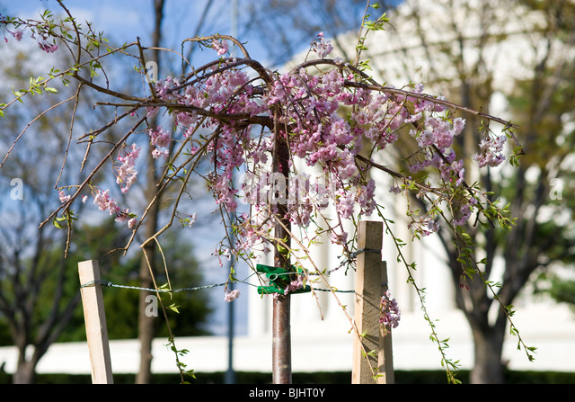 Young Weeping Cherry Blossom Tree just planted next to the Jefferson Memorial in Washington DC supported by poles - Stock Image