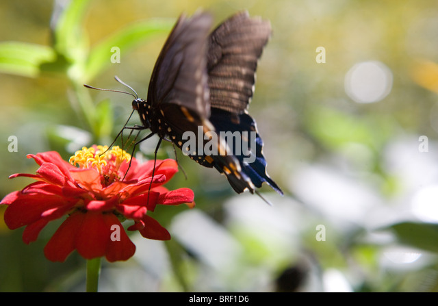 butterfly resting on a zinnia flower eating, black with orange and blue markings, landing - Stock-Bilder