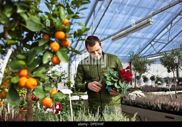 Gardener working in greenhouse - Stock Image