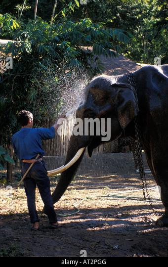 elephant indien Asiatischer Elefant Indian Elehant Asiatic Elephant Elephas maximus animals Asia Asien captive Elefanten - Stock-Bilder