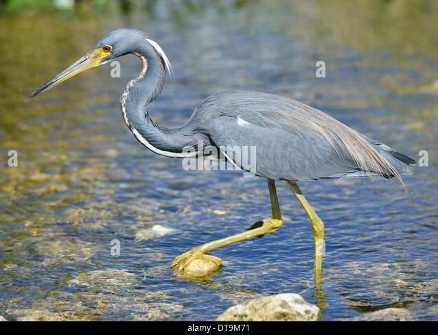Tricolored Heron In Florida Wetland - Stock-Bilder