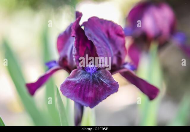 Close Up Deep Purple Blue Iris Stock Photos Amp Close Up