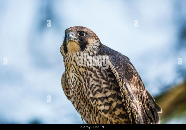 A peregrine falcon, Falco peregrinus - Stock Image