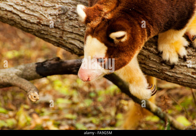 Tree Kangaroo on limb - Stock Image