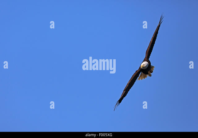 American bald eagle (Haliaeetus leucocephalus), flying, Canada, Vancouver Island - Stock Image