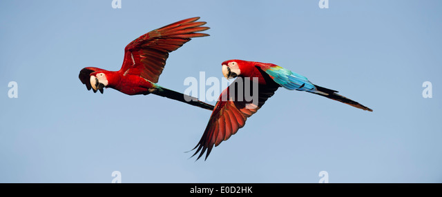 Pair of Red-and-Green (Green-winged) Macaws in flight, Chapada dos Guimaraes, Brazil (Ara chloropterus) - Stock-Bilder