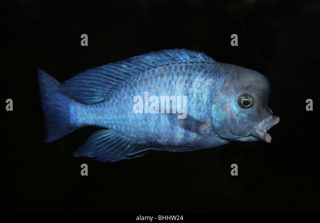 Cichlids stock photos cichlids stock images alamy for Lake malawi fish
