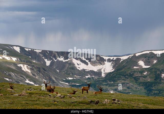 Rain storm and bull elk over tundra Rocky Mountain National Park Colorado - Stock Image