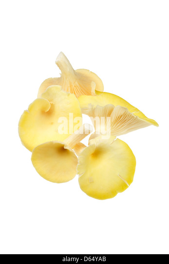 Yellow oyster mushrooms - Stock Image