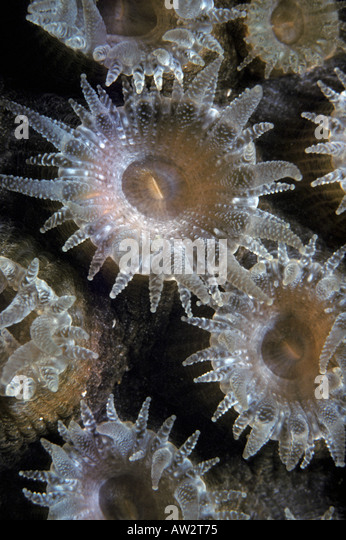 coral polyps underwater open to feed at night closeup portrait - Stock Image