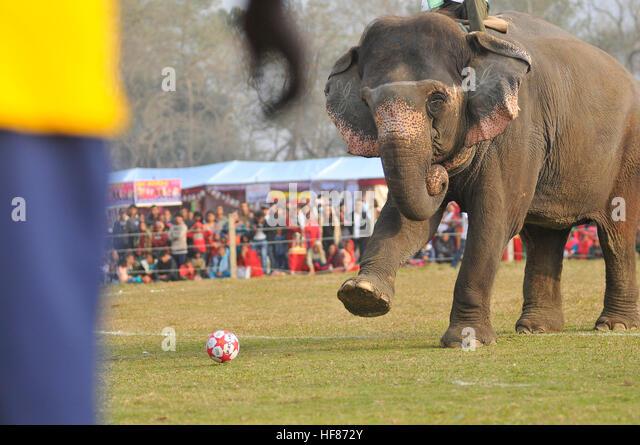 Kathmandu, Nepal. 27th Dec, 2016. A Elephant kicks a ball during soccer or football match as a part of 13th Elephant - Stock Image