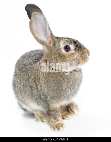 Wild,domestic rabbit on white background.Cutout. - Stock Image