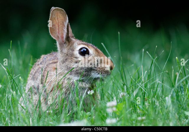 Wild rabbit - Stock Image