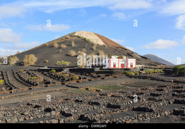 Winery beyond a field of vines growing in volcanic ash protected by walls in vineyards of La Geria, Lanzarote, Canary - Stock Image