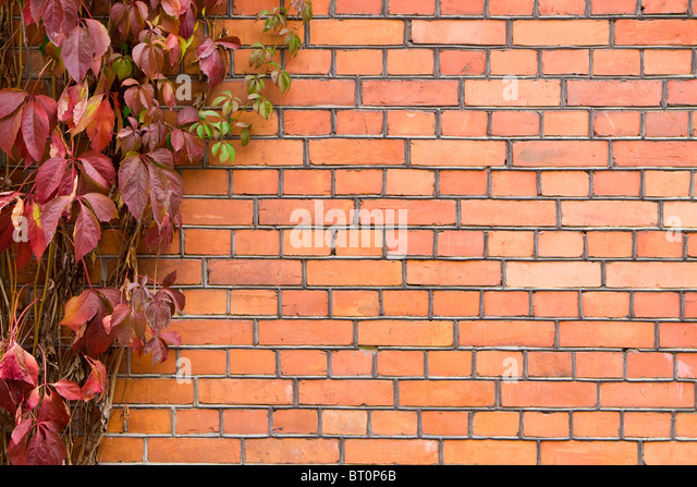 wall with vine. brick wall covered in ivy. - Stock-Bilder