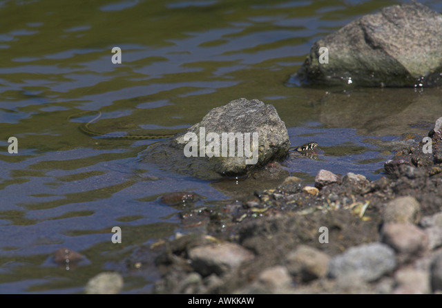 Dice Snake Natrix tessellata swimming in cattle drinking pool in mountain region of Lesvos, Greece in April. - Stock Image