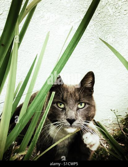 Feral gray cat with green eyes peering through reeds close on ready to pounce - Stock-Bilder