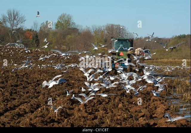 Gulls following tractor plowing field - Stock Image