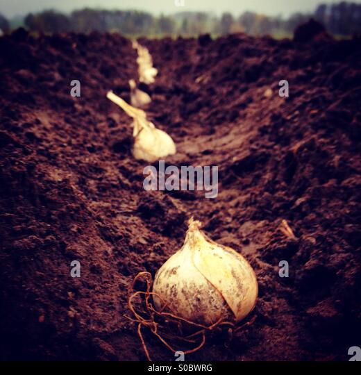 Planting garlic - Stock Image