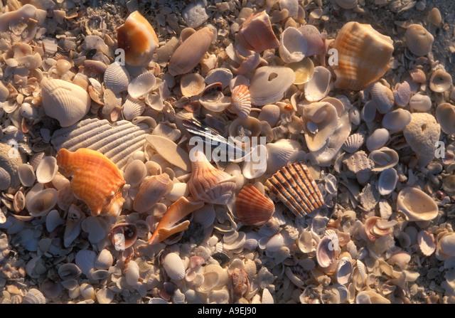 Florida United States of America USA Shelling Sanibel Island Shells on the Beach - Stock Image