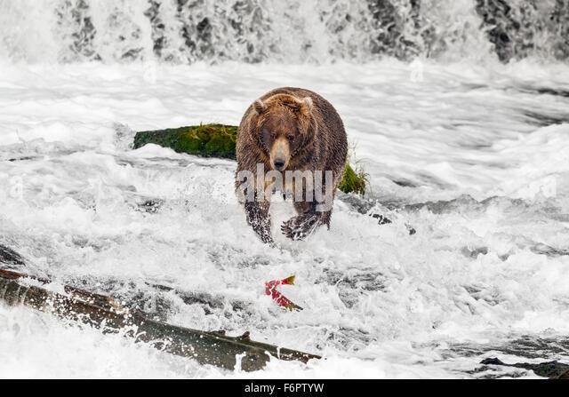 A subadult male brown bear chases a Sockeye salmon as it flees beneath Brooks Falls - Stock Image