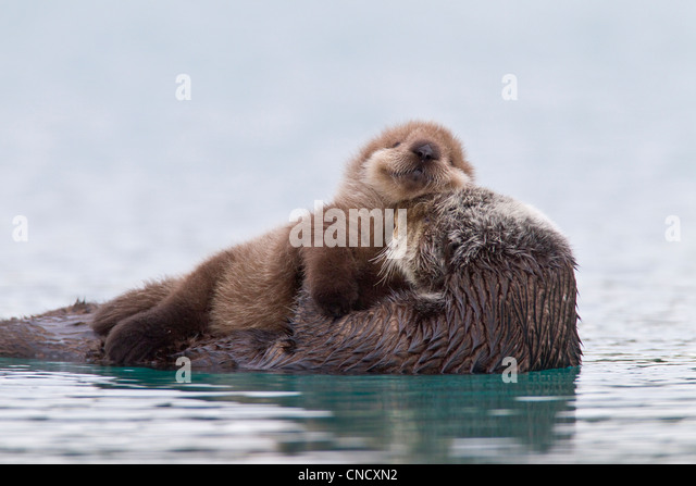 Female Sea otter with newborn pup riding on her stomach, Prince William Sound, Southcentral Alaska, Winter - Stock-Bilder