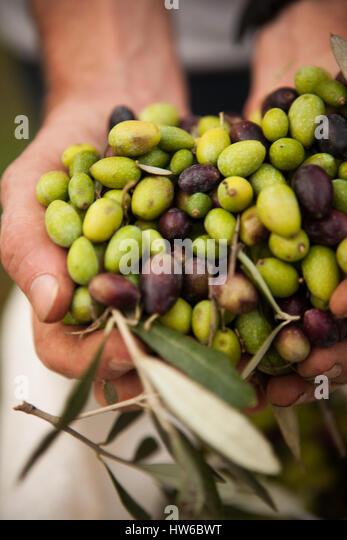 Hands holding olives - Stock Image