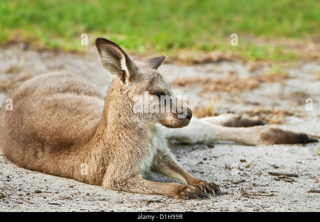 Eastern Grey Kangaroo resting on the ground. - Stock Image