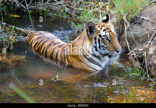 Bengal Tiger, Panthera tigris tigris - Stock Image