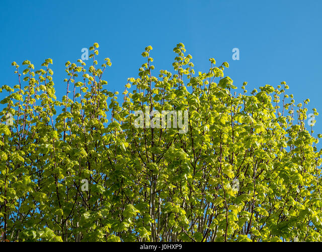 Lime tree leaves in Spring. - Stock Image
