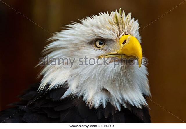 Bald eagle (Haliaeetus leucocephalus), Deer Mountain Tribal Hatchery and Eagle Center, Ketchikan, Alaska USA - Stock-Bilder