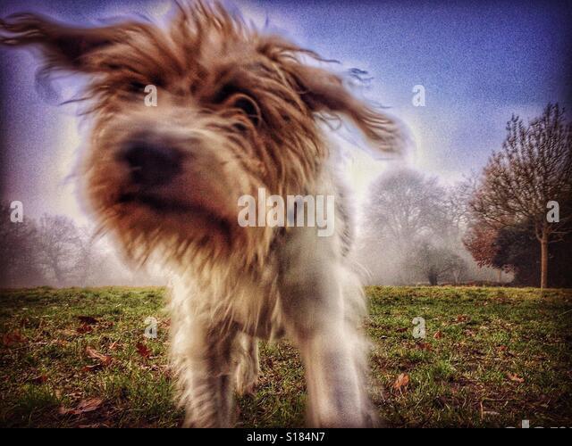 Dog running to camera - Stock-Bilder