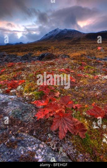 Vegetation on the tundra, Tombstone Territorial Park, Yukon, Canada - Stock Image