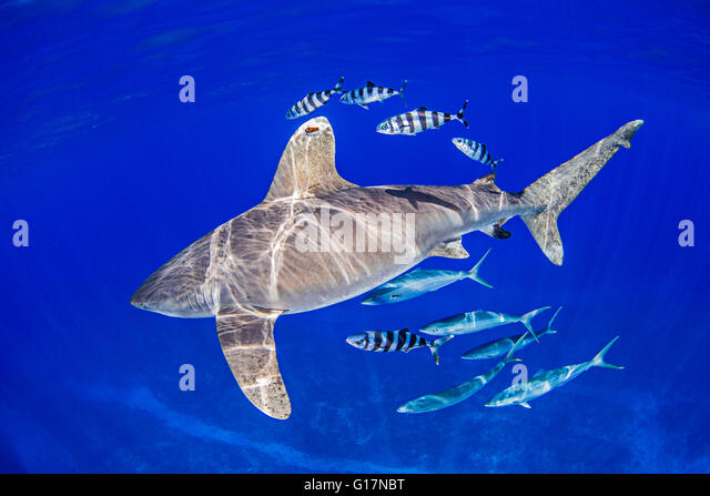 Oceanic Whitetip Shark with pilot fish and rainbow runners around it - Stock Image