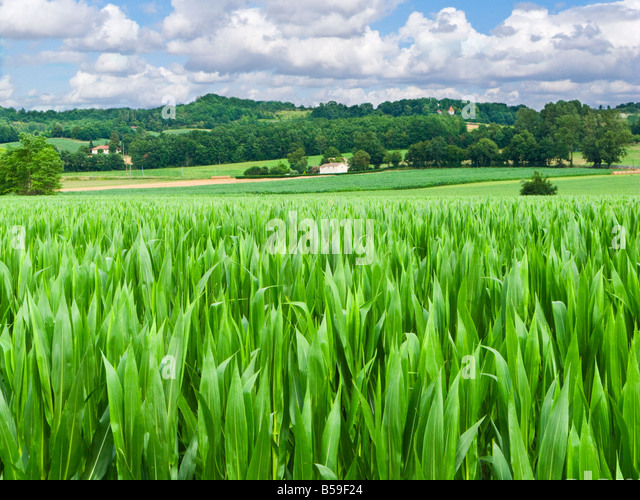 Field of maize in Tarn et Garonne southern France Europe - Stock Image