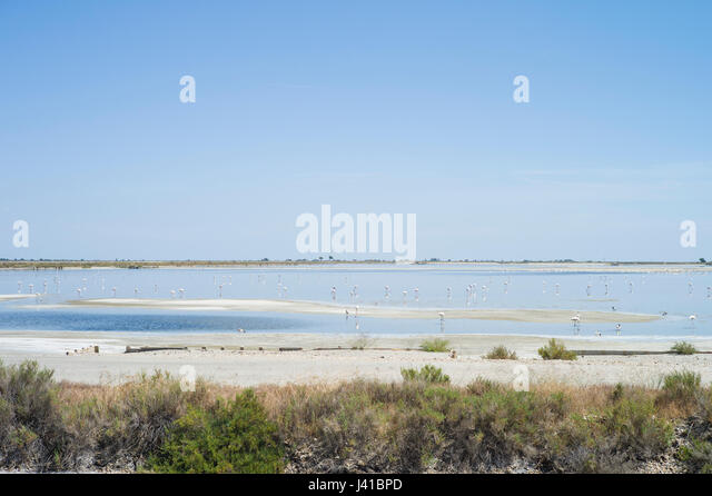 Pink flamingos in the salt marshes, Aigues-Mortes, Camargue, Gard, Languedoc-Roussillon, France - Stock Image