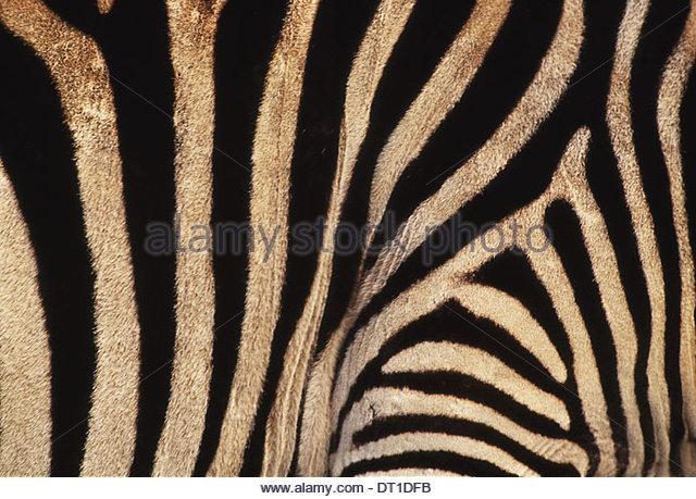 Kenya Zebrskin Equus quagga Kenya - Stock-Bilder